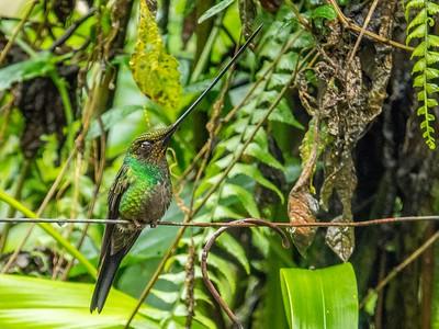 Sword-billed Hummingbird