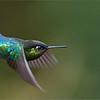 Fiery-throated Hummingbird in Flight