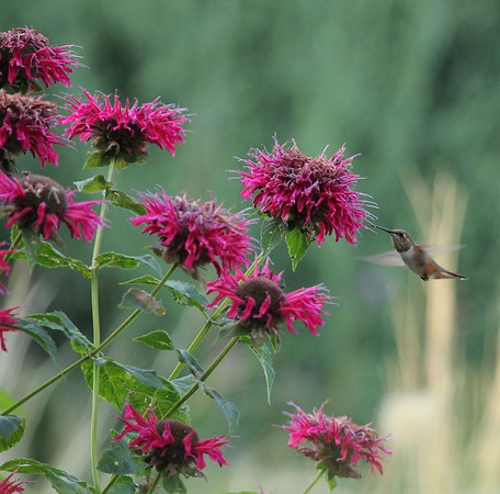 A Rufous hummingbird visits Monarda flowers in our yard