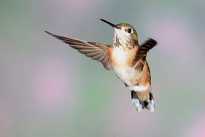 Female Rufus Hummingbird