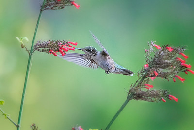 Ruby Throated Hummingbird feeding on Russelia Sarmentos