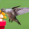 Hummingbird  Nectaring