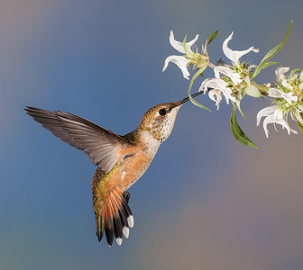 Broad-tailed Hummingbird, Female