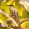 Proud Female Ruby-throated Hummingbird in Nest with her Young
