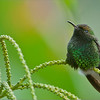 Golden-crowned Emerald Hummingbird