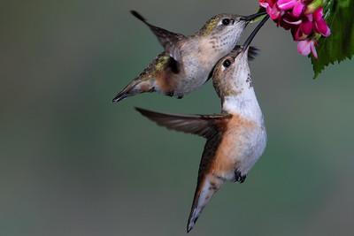 Female Calliope and Female Rufus sharing a meal.