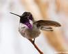 Charlie: Costa's Hummingbird taking a rain bath.