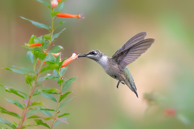 Ruby Throated hummingbird feeding on cigar plant
