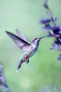 Ruby Throated Hummingbird on Amistad Salvia