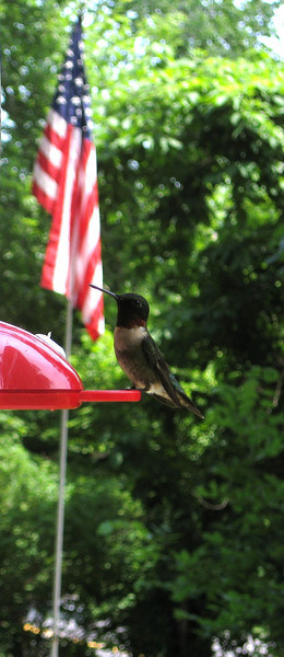 Ruby throated hummingbird with American flag in background