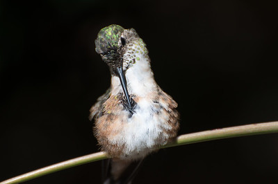 Anna's Hummingbird, Female