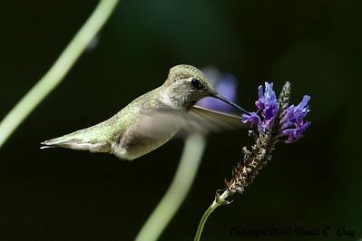 anna's hummingbird dining 3