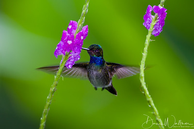 Charming Hummingbird