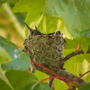 Hummingbird Juveniles in the Nest, Ruby-throated