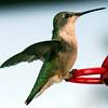 NY Hummingbird