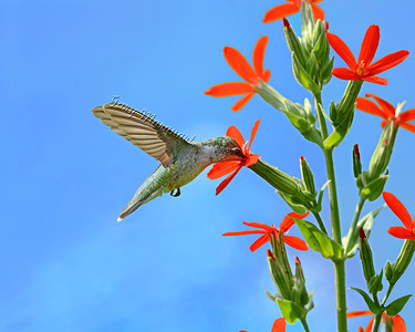 Hummingbird @ Royal Catchfly 3701