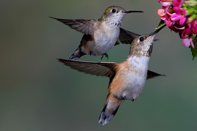 Coming in for a landing. Female Rufus Hummingbirds