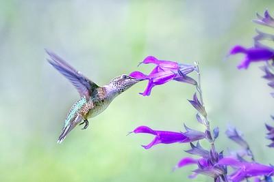 (HU17) Ruby Throated Hummingbird - Amistad Purple Salvia