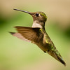 Hummingbird Plank