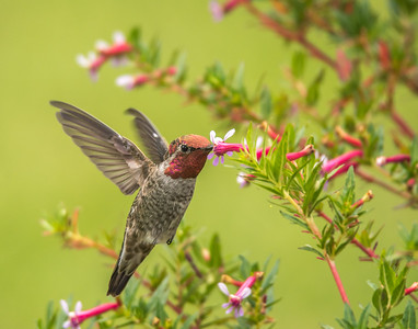 Anna's Hummingbird, Lake San Marcos, California.