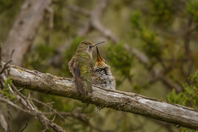 Anna's Hummingbird feeding time, Point Reyes National Seashore.