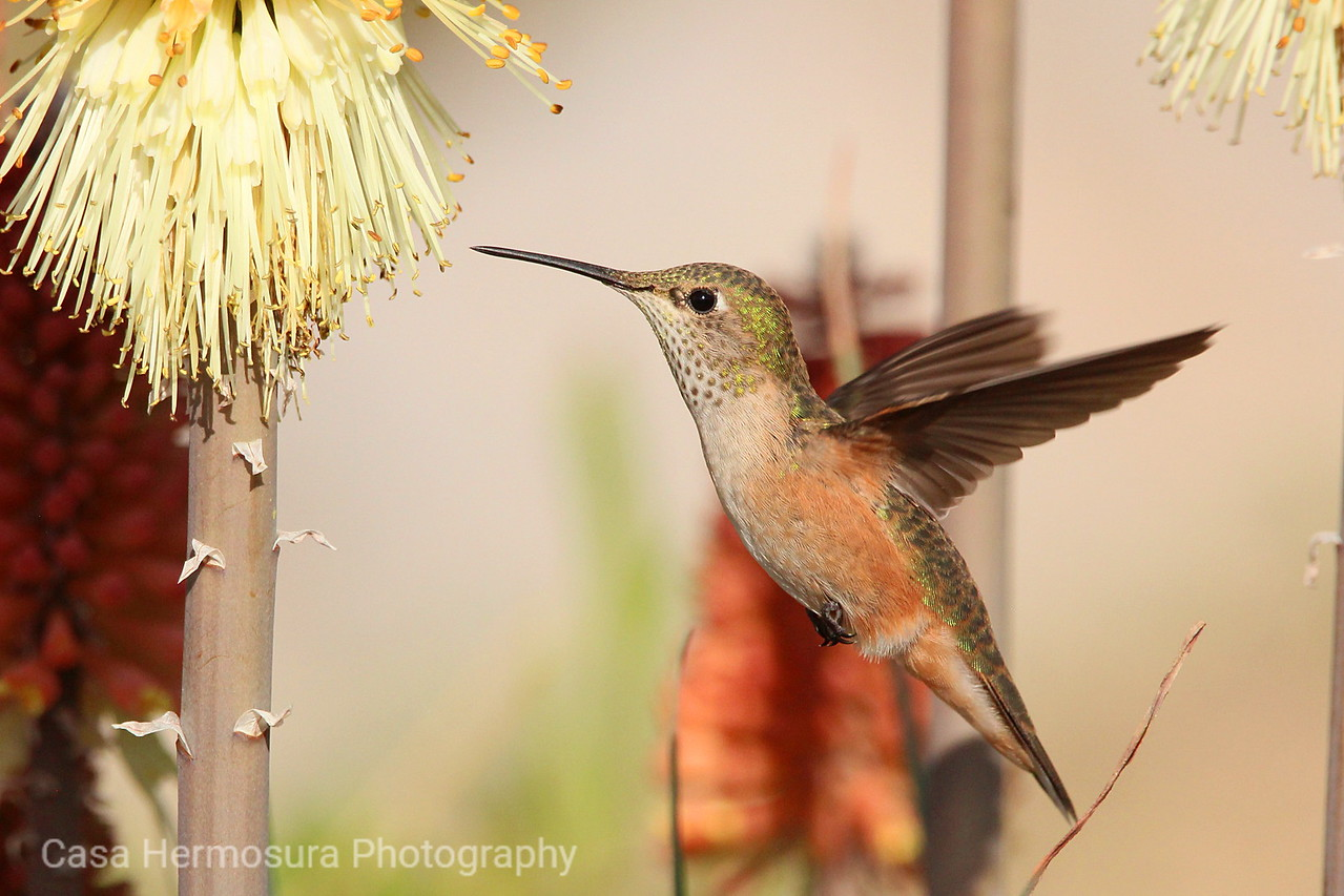 Female Broad-tailed Hummingbird Feeding from a Torch Lily; Los Alamos, New Mexico