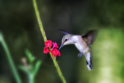 Ruby Throated Hummingbird feeding on Red Porterweed