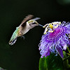 Young Male Ruby Throated Hummingbird on Passion Flower