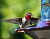 ALLEN'S HUMMINGBIRD170816