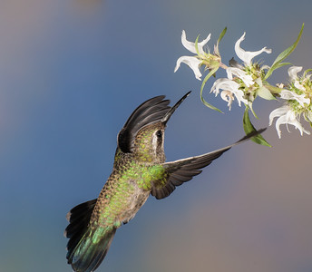 Broad-billed Hummingbird, Female
