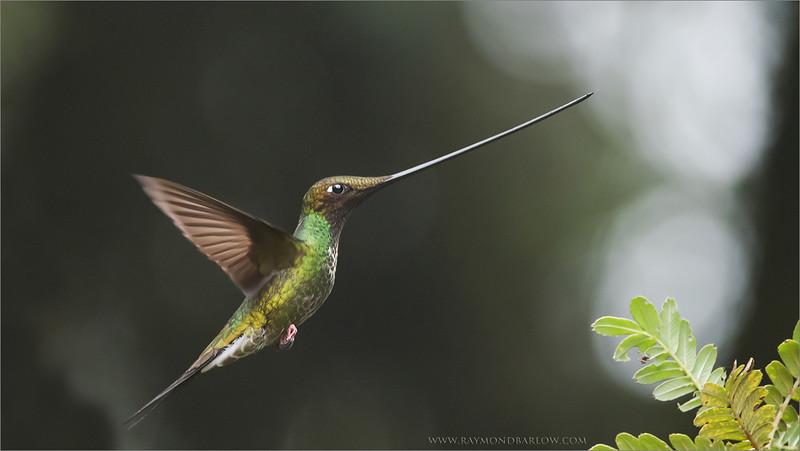 Sword-billed Hummingbird<br /> Raymond's Ecuador Tours<br /> <br /> ray@raymondbarlow.com<br /> Nikon D810 ,Nikkor 200-400mm f/4G ED-IF AF-S VR<br /> 1/800s f/4.0 at 310.0mm iso2500