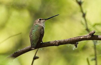 Anna's Hummmingbird, female