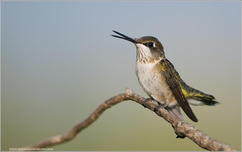 Hummingbird Singing