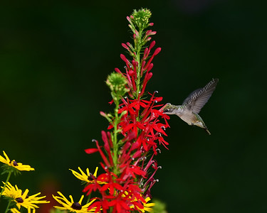 Hummingbird @ Cardinal Flower 5573