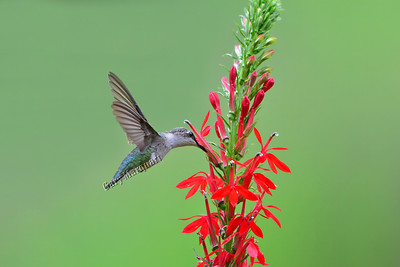Hummingbird /Cardinal Flower #0579