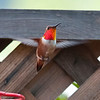 Rufous hummingbird in our yard<br /> April 14th