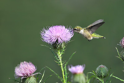Hummingbird @ Thistle 496
