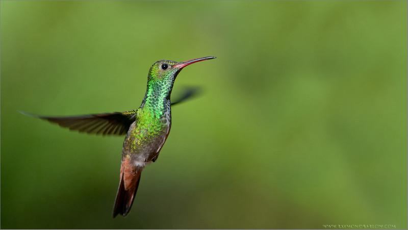 Rufous-tailed Hummingbird in Flight