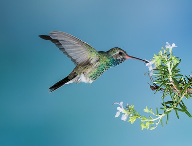Broad - billed Hummingbird