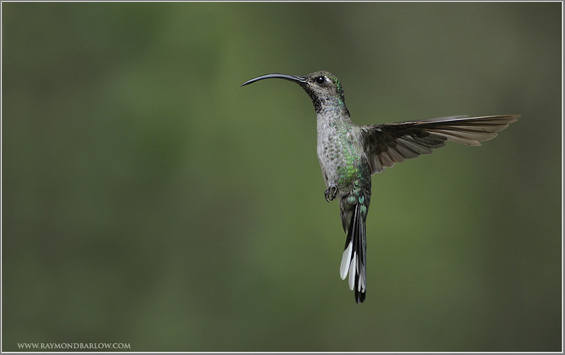 Female Violet Saber Wing Hummingbird