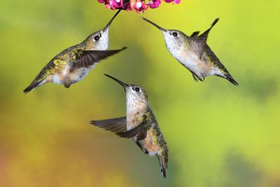 Waiting for their turn--Three female Calliope Hummingbirds