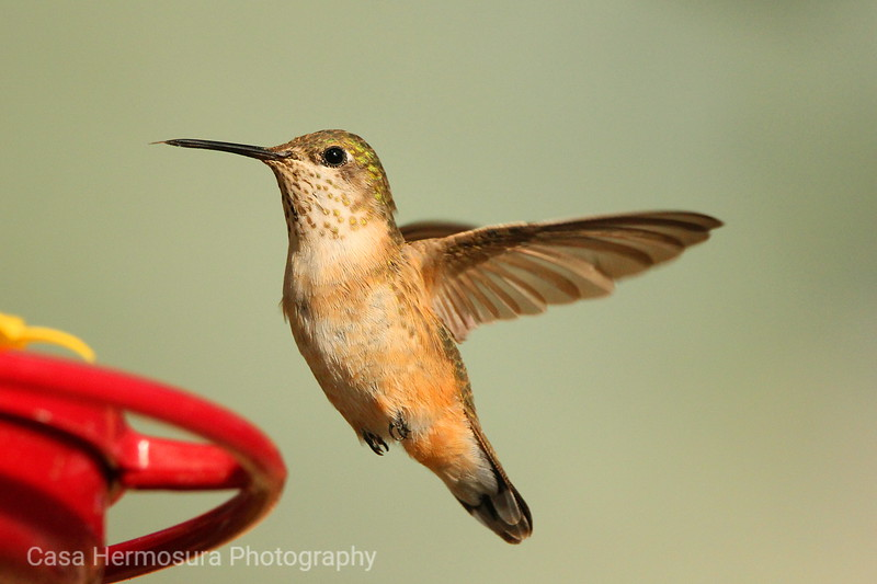 Female Rufous in Flight
