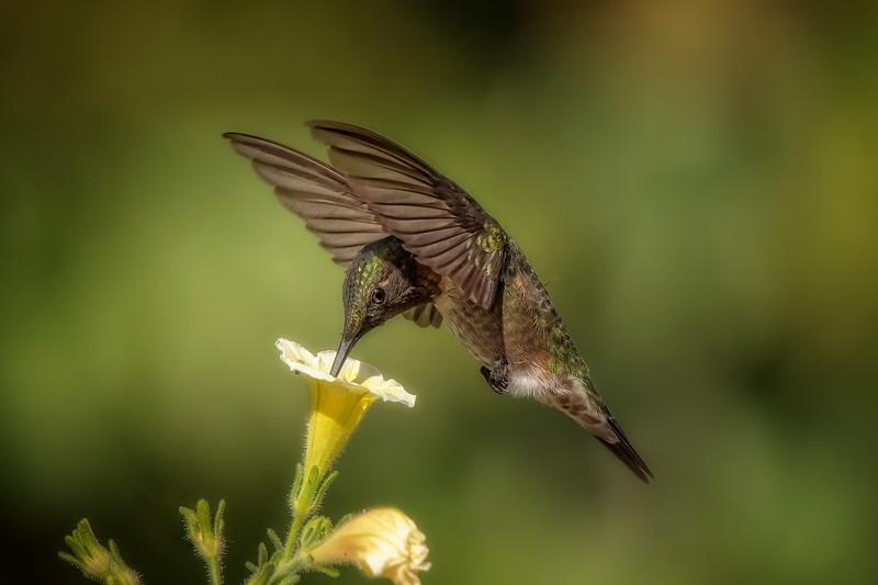 Ruby-throated Hummingbird - Male V