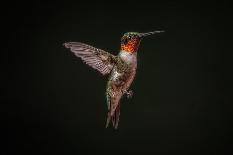 Ruby-throated Hummingbird - Male IV