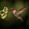 Ruby-throated Hummingbird - Male I