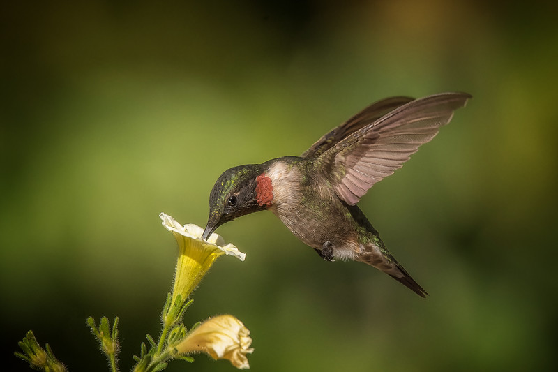 Ruby-throated Hummingbird - Male VI