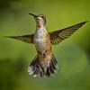 Ruby-throated Hummingbird - Male II