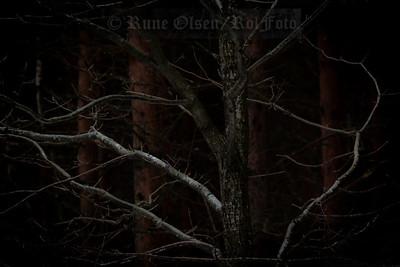 Forgreininger i dysterskogen