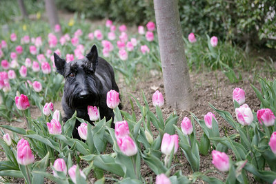 Laura Bush Tulips with Barney and Ms. Beazley.
