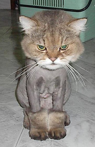 Shaved-Cat-317-large